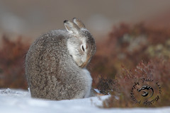 Bashfull (blootoonloon1( No to Badger Cull)) Tags: hare beauty wildlife nature animals wnter snow colours scotland highlands heather fur