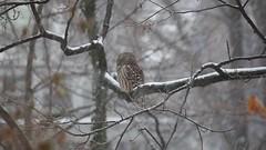 Barred Owl - Strix varia - Hamilton County, Ohio, USA - December 6, 2013 (mango verde) Tags: barredowl strixvaria strigidae owls strix varia owl bird yard hamiltoncounty ohio usa