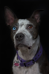 Cleo (Cruzin Canines Photography) Tags: animal animals canon canoneos5ds canon5ds canine 5ds eos5ds dog dogs domestic domesticanimal pet pets pitbull pit pitbullterrier terrier americanpitbullterrier cleo cleopitra lowkey indoors studio colorado coloradosprings cute pretty portrait