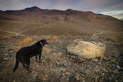 Dog vs. Rock (dwblakey) Tags: dogs california hike owensvalley rocks winter sunset easternsierra bishop mountains outdoors outside inyocounty evening sky clouds unitedstates us