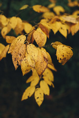 Autumn Leaves [10.08.17] (Andrew H Wagner | AHWagner Photo) Tags: 5dmk3 5d3 5dmkiii 5dmarkiii 5dmark3 bokeh dof nature trees tree leaves outdoors explore exploration exploring hiking canon eos 50l 50mm f12 f12l leaf autumn fall golden yellow red orange maryland md