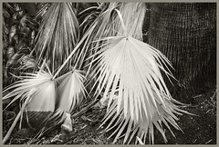 Agua Caliente IR #25 2018; Palm Leaves (hamsiksa) Tags: infrared digitalinfrared infraredphotography blackwhite landscape detail botanicals botany plants flora trees palms palmae wadhingtoniarobusta mexicanfanpalm arizona tucson aguacalientepark pimacounty desert desertplants sonorandesert