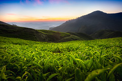 Tea plantation in the morning, Cameron highlands, Malaysia (Patrick Foto ;)) Tags: agriculture asia background beauty cameron countryside cultivation famous farm farmland field foliage forest garden green grow growth harvest harvesting herb highland hill idyllic india industry land landscape malaysia meadow mountain nature nobody organic outdoor place plant plantation rural south sunny tea terrace texture tropical valley tanahrata pahang my