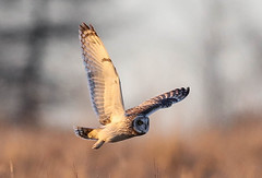 Short Eared Owl Asio flammeus 209-1 (cwoodend..........Thanks) Tags: gloucestershire hawling shortearedowl shortie owl raptor wildlife asioflammeus seo hunting quartering