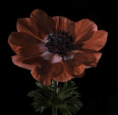 Back Lit Anemone Flower (Bill Gracey 17 Million Views) Tags: anemone fleur flower flor red nature naturalbeauty naturephotography macrolens homestudio yongnuorf603n yongnuo blackbackground softbox roguegrid backlit backlighting