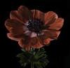 Back Lit Anemone Flower (Bill Gracey 18 Million Views) Tags: anemone fleur flower flor red nature naturalbeauty naturephotography macrolens homestudio yongnuorf603n yongnuo blackbackground softbox roguegrid backlit backlighting