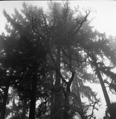 foggy branches (fgmachine) Tags: 120film 400 ilford delta medium format zeissikonnettar rodinal stand develop eugene oregon black white film real grain