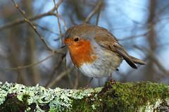 Robin at Stover a few weeks ago. (ronalddavey80) Tags: robin tamron canon eos70d