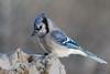 _DIV2631 (Maryline-Blais) Tags: bird snow winter blue jay log stump sharp