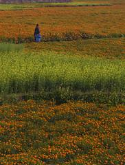 WALKING INTO HEAVEN OF FLOWERS (mailmesanu20111) Tags: flower bengal westbengal landscape walk iindia nursery garden horticulture marigold musturdfield canvas naturaldrama