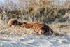 [no comment] (FotoHolst) Tags: shepherd australian aktion action dog aussie tier outdoor haustier hund schärfentiefe fotoholst säugetier fotorahmen canon 7dmark2