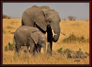 FEMALE AFRICAN ELEPHANT WITH CALF (Loxodonta africana)....MASAI MARA....SEPT 2017