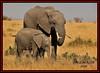 FEMALE AFRICAN ELEPHANT WITH CALF (Loxodonta africana)....MASAI MARA....SEPT 2017 (M Z Malik) Tags: nikon d3x 200400mm14afs kenya africa safari wildlife masaimara keekoroklodge exoticafricanwildlife elephants ngc