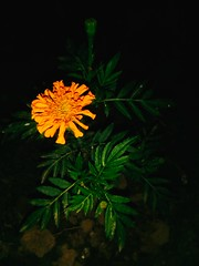 Marigold flowers On Night mode............ (argharaha123456) Tags: photography wallpaper explore nature beautiful ogq backgrounds
