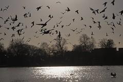 Birds over the Serpentine, Hyde Park, London.... (markwilkins64) Tags: wildlife nature london park hydepark serpentine theserpentine silhouette silhouettes swans seagulls pigeons bird birds