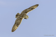 Coruja-do-nabal | Short-eared owl | Asio flammeus (Álvaro Nunes) Tags: corujadonabal shortearedowl asioflammeus