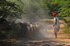 India- Rajasthan- near Bhadrajoon (venturidonatella) Tags: india rajasthan asia colori colors nikon nikond300 d300 gentes persone people pastori shepherd pastore gregge capre polvere dust goat goats bhadrajoon animale animali strada street streetscene