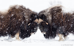 Sparring in Dovrefjell (Sue MacCallum-Stewart) Tags: dovrefjell norway muskoxon snow mountains nature wildlife sparring