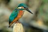 Il re del fiume (rubacolor) Tags: kingfisher martin pescatore birds alcedo atthis