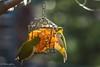 仲良しこよし (Yorkey&Rin) Tags: 2018 birds em5markii inmygarden january japan japanesewhiteeye kanagawa olympus olympusm75300mmf4867ii rin v1120036 winter みかん メジロ 庭 冬