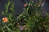 XX20160715a8865star4.jpg (rachelgreenbelt) Tags: monocots usa orderliliales northamerica asteridsclade orderasparagales familyliliaceae liliumcommitmentorientalblackred colormulti orderasterales americas eudicots midatlanticregion familyxanthorrhoeaceae maryland subfamilyhemerocallidoideae familyasteraceae greenbelt hemerocallisnotnamed ghigreenbelthomesinc campanulidsclade ouryard hemerocallissalmon kansasgayfeather magnoliophyta asparagales asterfamily asteraceae asteraceaefamily asterales asteralesorder asterids asters blazingstar buttonsnakewort compositaefamily compositefamily daisyfamily denseblazingstar floweringplants hemerocallidoideae hemerocallidoideaesubfamily irides liatrisspicata liatriscallilepis liatrisgenus mixedcolors monocotyledons multiplecolors prairiegayfeather spermatophytes sunflowerfamily xanthorrhoeaceae xanthorrhoeaceaefamily