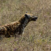 2017.06.20.2510 Hyena