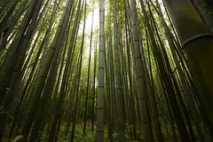 嵐山竹林 - Arashiyama Bamboo Grove (Hachimaki123) Tags: 日本 japan kyoto 京都 嵐山竹林 嵐山 竹林 竹 arashiyamabamboogrove arashiyama bamboogrove bamboo 風景 paisaje landscape