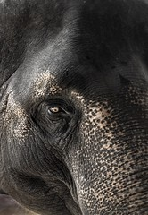 ... (UK.Photography) Tags: time life once majestic passionate closeup closer animals animal old 1300d eos canon detail detailed wild elephant wildlife photographer traveling khaosok thailand