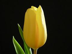 Tulip #6 (Frans Schmit) Tags: tulips tulpen wonderfulworldofflowers flowers fransschmit