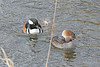 Hooded Merganser Couple 18-0121-1476 (digitalmarbles) Tags: hoodedmerganser drake hen male female duck ducks waterfowl hooded merganser mergansers aquaticbird lophodytescucullatus anseriformes pair couple water reflection reflecting distortion ripple swimming nature wildlife animal bird birds birder birdphoto birdphotography wildlifephotography robsonpark surreybc lowermainland bc britishcolumbia canada canoneosrebelt7i canon