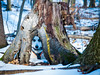 Always Watching (Gardenner) Tags: husky animal pet dog winter stump tree hiking mount nemo ontario