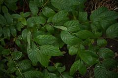 jdy182XX20170701a4476Bias-1.3 stops.jpg (rachelgreenbelt) Tags: ghigreenbelthomesinc usa eudicots subfamilycinchonoideae greenbelt northamerica midatlanticregion ouryard ordergentianales asteridsclade familyrubiaceae maryland americas cephalanthusoccidentalissugarshack2016buttonbush gentianales gentianalesorder magnoliophyta rubiaceae rubiaceaefamily asterids buttonbush cephalanthusoccidentalissugarshack floweringplants spermatophytes