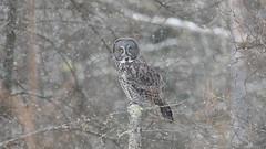 Winter Wonderland (jrlarson67) Tags: great gray grey owl saxzim bog mn minnesota raptor bird snow strix nebulosa chouette lapone