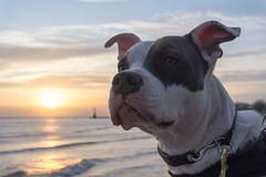 Sunrise blockhead (daebreyk) Tags: pitbull pitbulls inherentlygood adoptdontshop pitbullmix