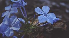 A small measure of life (Vincent Monsonego) Tags: sony α αlpha alpha ilce7rm2 a7rii a7r2 zeiss sonnar t fe 55mm f18 za sel55f18z prime lens flower tree bark barren life blue plant nature sonyalphadslr