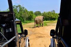 Sri_Lanka_17_156 (jjay69) Tags: srilanka ceylon asia indiansubcontinent tropical island jeep transport 4x4 4wheeldrive offroad dirtroad mahindra mahinda tourist tourism nationalpark yala yalanationalpark wildlifetour wildlifespotting animalviewing viewing wildlife elephant elephants wildelephants trunk