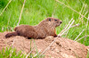 Riverlands20150418_DSC0259-00259-Edit.jpg (Nancy Helmer Photography!) Tags: 3postedtosocailsites httpwwwnancyhelmerartistwebsitescom woodchuck httpnancyhelmerpixelscom unitedstates mammals nancyhelmer spring afternoon april animals missouri northamerica adult westaltonmissouri marmotamonax groundhog marmot siffleurfrenchcanadian website weuskcreel