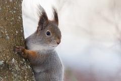 Treehugger! (laurilehtophotography) Tags: 2018 finland kortesuo orava suomi talvi jyväskylä squirrel tree hug cute animal wildlife nature forest nikon d610 nikkor 200500mm bokeh winter snow cold luonto metsä eläin