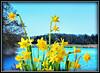 Mini Narcissen (Omroep Zeeland) Tags: narcissen voorjaar