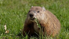 Today, I'm a Celebrity II (Slow Turning) Tags: marmotamonax groundhog woodchuck whistlepig rodent mammal animal forage foraging feeding eating dandelion taraxacumofficinale weeds eyecontact spring southernontario canada