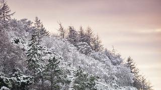 Snowfall on Trees, Scotland