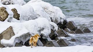Fox and Sea Defences