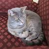 Millie 27 December 2017 8145Ri sq (edgarandron - Busy!) Tags: cat cats kitty kitties tabby tabbies cute feline millie graytabby