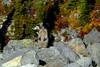 A whistling Hoary Marmot (Marmota Caligata), at Whistler, BC  -  (Selected by GETTY IMAGES) (DESPITE STRAIGHT LINES) Tags: whistler whistlerblackcombvillage whistlermountain whistlerpeak2peak whistlerpeak2peakgondola mountain mountains mountainview summit ontopoftheworld fitzsimmonsrangeofthepacificrangesofcoastalmountains garibaldiprovincialparkbc canada bc britishcolumbia thecrystallodge thecrystallodgewhistler peak2peak gondola paulwilliams despitestraightlines flickr d800 nikond800 nikkor70200mm nikon70200mm animalia chordata mammalia rodentia sciuridae xerinae marmotini marmota londonmountainbc londonmountain whistlepigs hoarymarmot thewhistlermarmotacaligata