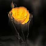 Movimiento de una Rosa.. thumbnail