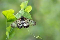 Glasswing (Acraea andromacha) (Ian Colley Photography) Tags: glasswing acraeaandromacha mingoola butterfly canoneos7dmarkii ef500mmf4lisusm