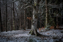Tauwetter im Winterwald (glasseyes view) Tags: glasseyesview winter winterwald tauwetter schneedecke mischwald hohesvenn ternell eifel naturereserve trees forest woods
