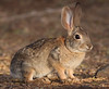 Desert Cottontail (Robyn Waayers) Tags: desertcottontail saltonsea robynwaayers