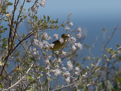 some kind of warbler (brian eagar - very busy - not much time to comment) Tags: wing animal nature wildlife outdoor outside january 2018 cabopulmo mexico california wild sun vacation getaway bird warbler flower seed sky bush tree branch white green blue yellow