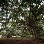 Beautiful tree in Labna thumbnail